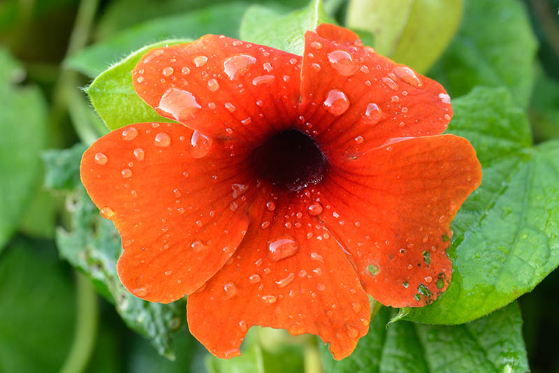 Blüte einer Schwarzäugigen Susanne (Thunbergia alata). Nikon D600, ISO 400, AF Micro Nikkor 105 mm 1:2,8D mit Blende 11.