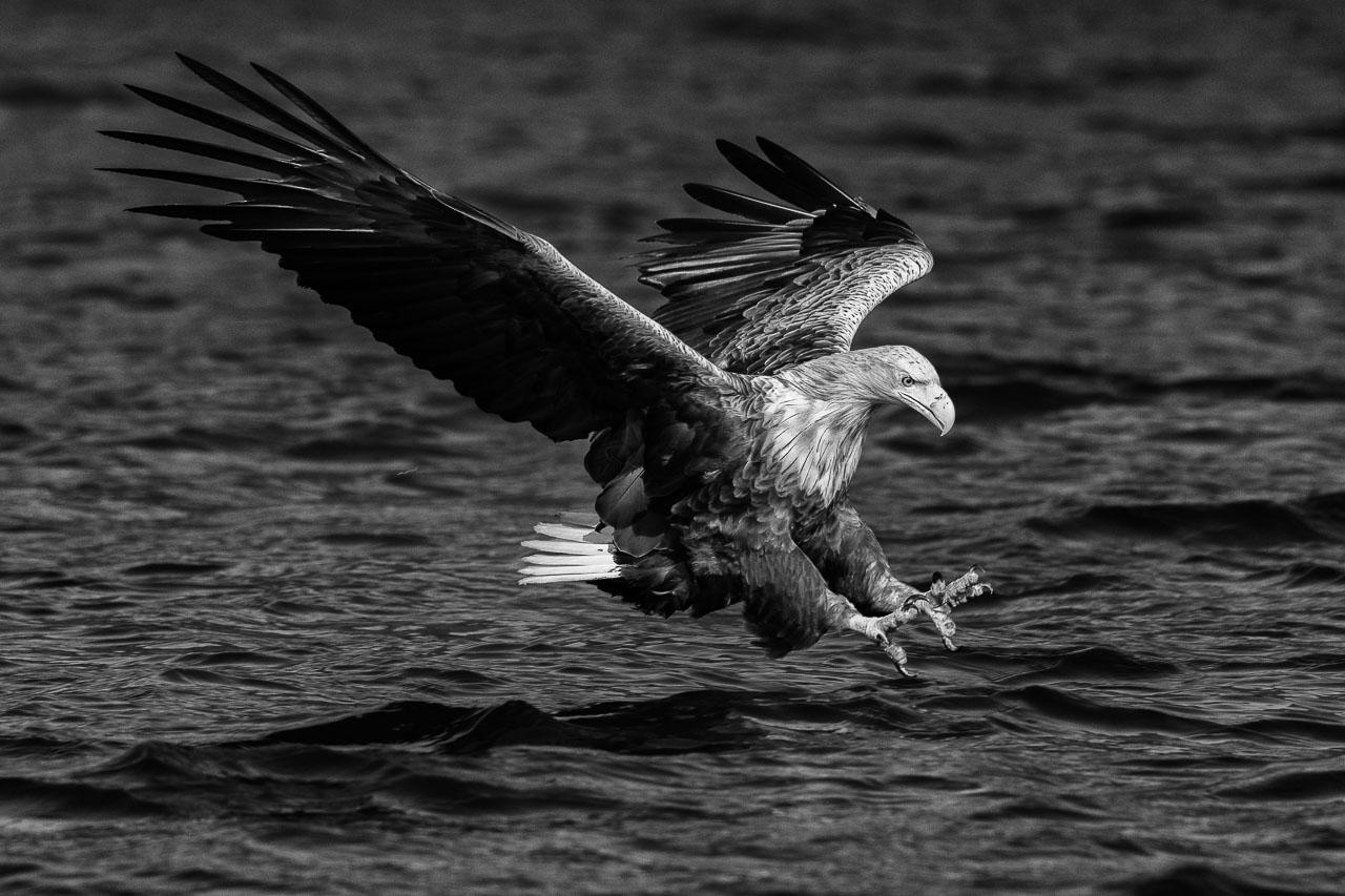 Höchste Konzentration: Ein Seeadler (Haliaeetus albicilla) im Anflug auf einen Fisch unmittelbar vor dem Zupacken. Das Foto entstand mit einer Nikon D850 und dem Tamron SP 150-600mm G2 (@500 mm) im Naturpark Feldberger Seenlandschaft.