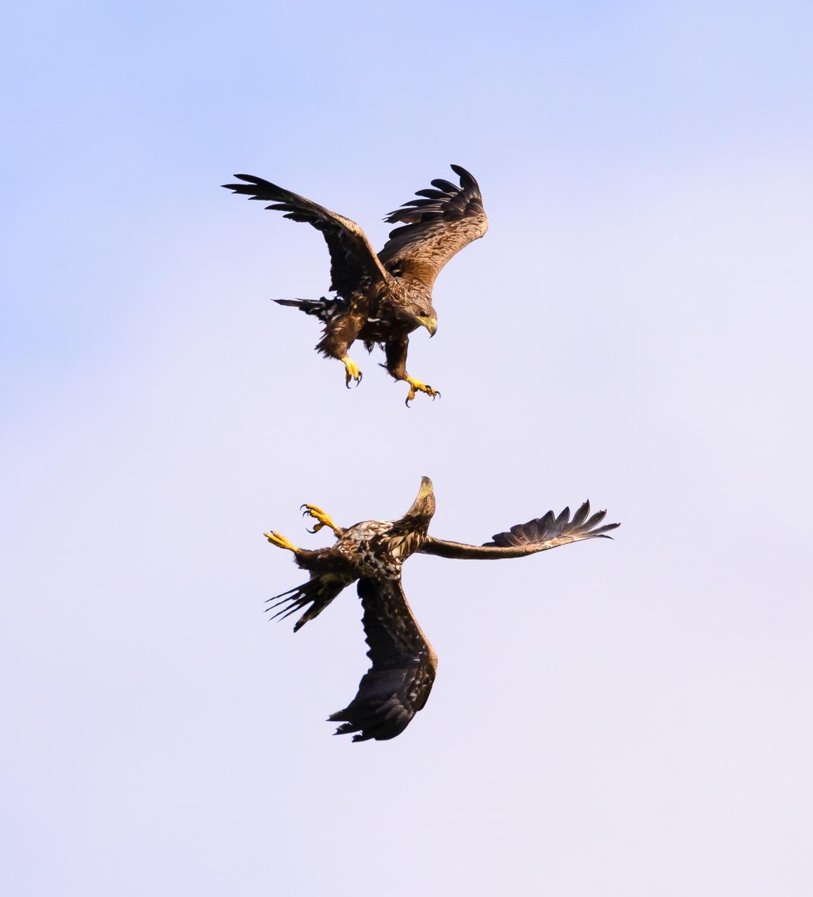 Junge Seeadler im spielerischen Luftkampf über der norwegischen Insel Runde