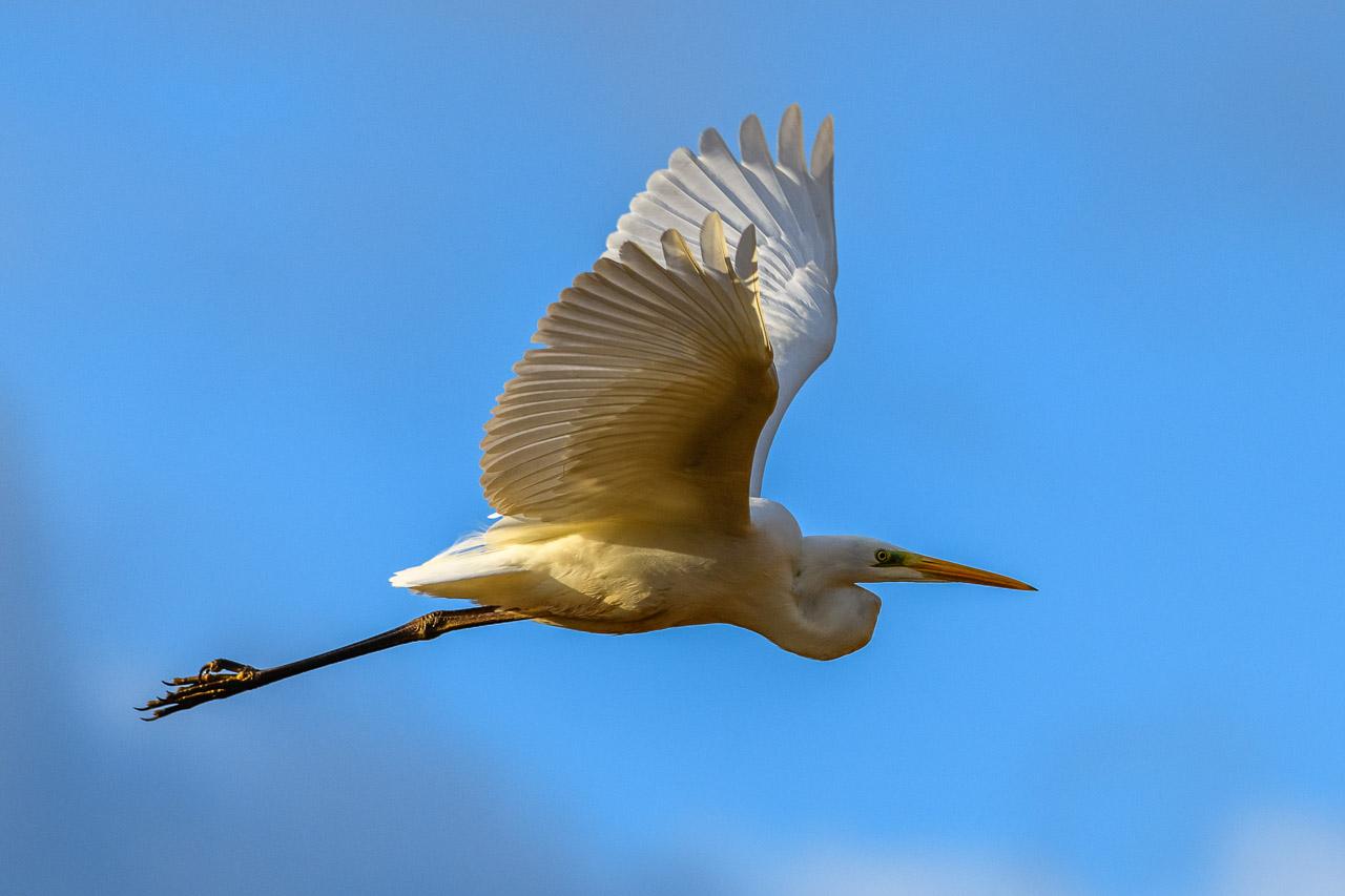 Silberreiher (Ardea alba) im Flug über einem Feuchtwiesengebiet an der Schlei bei Schleswig