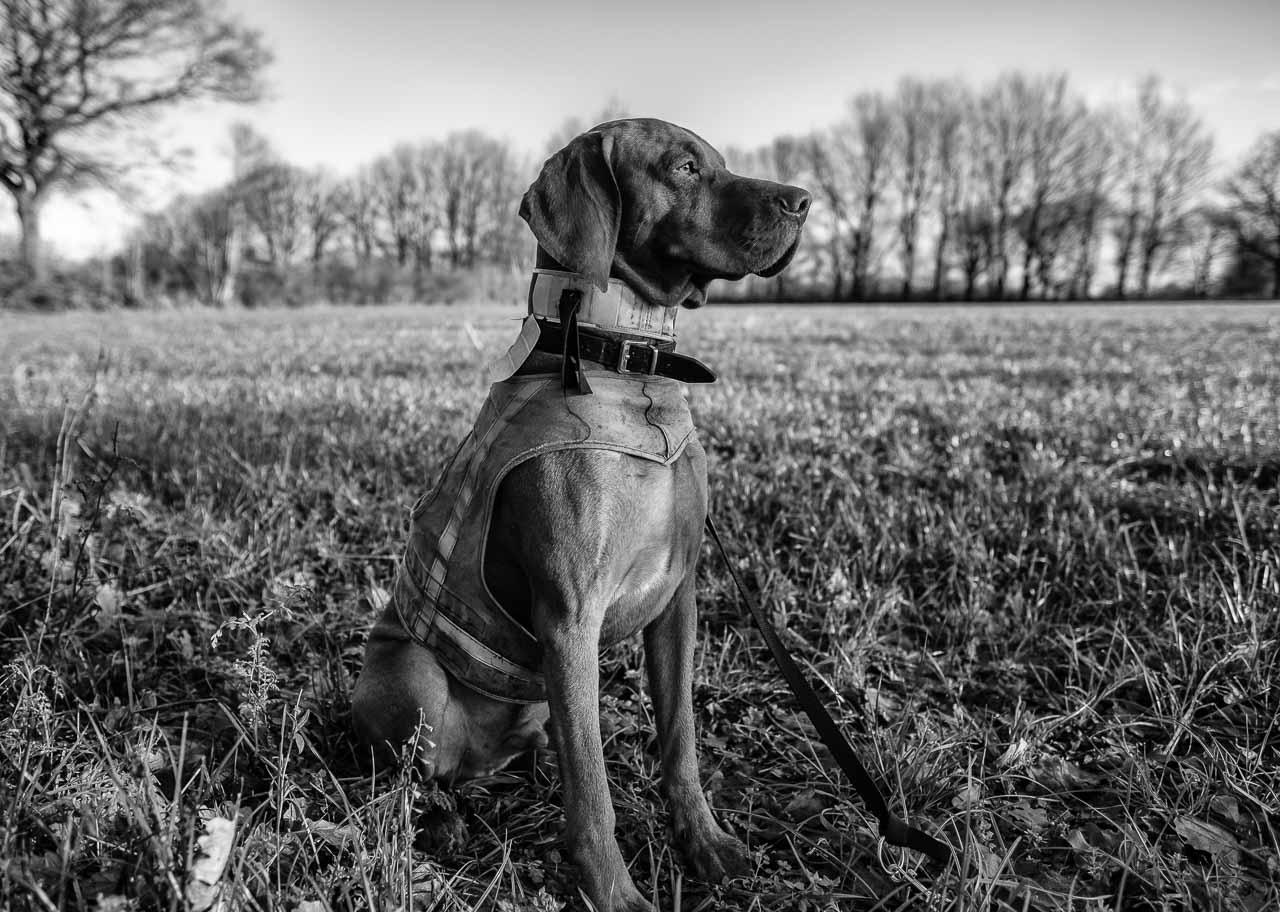 Szenen einer Jagd: Ein Ungarischer Vorstehhund (Magyar Vizsla) wartet auf den nächsten Einsatz bei einer Bewegungsjagd in Schleswig-Holstein im Dezember 2018.