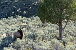 Wapiti-Hirsch im Yellowstone Nationalpark © Holger Rüdel