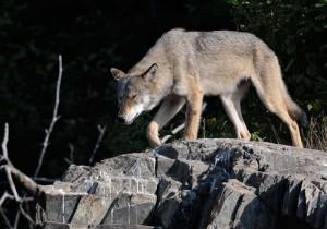 Grauer Wolf in Minnesota (USA) © Holger Rüdel www.holger-ruedel.de